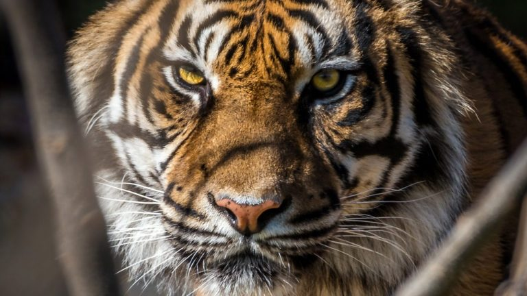 Tiger Gives Villagers Sleepless Nights In Gohpur